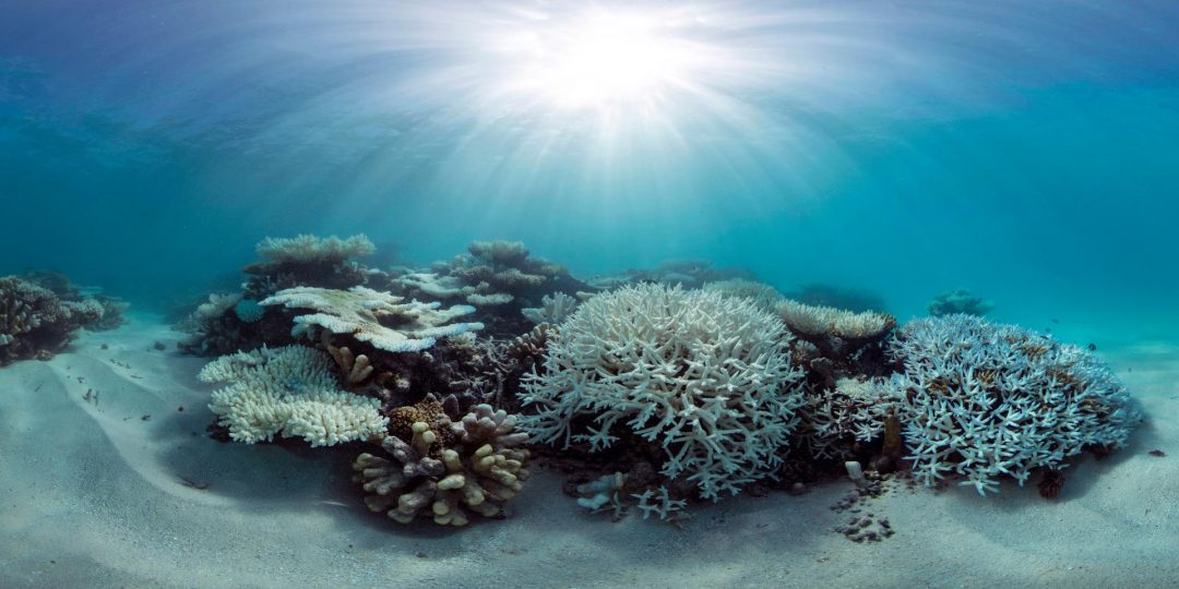 By analyzing data collected at more than 100 reefs around the world, UCI researchers found that some corals are more resilient to heat stress than others, possibly pointing to new strategies for protecting these vital ocean organisms. Caitlin Seaview Survey