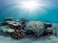 By analyzing data collected at more than 100 reefs around the world, UCI researchers found that some corals are more resilient to heat stress than others, possibly pointing to new strategies for protecting these vital ocean organisms. Caitlin Seaview Surv