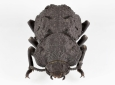Native to desert habitats in Southern California, the diabolical ironclad beetle has an exoskeleton that's one of the toughest, most crush-resistant structures known to exist in the animal kingdom. UCI researchers led a project to study the components and architectures responsible for making the creature so indestructible. Jesus Rivera / UCI