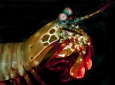 "The mantis shrimp is armed with two appendages called dactyl clubs that can accelerate from the body at over 50 mph to bludgeon and smash prey – yet they appear undamaged afterward. ""Think about punching a wall a couple thousand times at those speeds and not breaking your fist,"" said David Kisailus, UCI professor of materials science & engineering. ""That's pretty impressive, and it got us thinking about how this could be."" Kisailus lab / UCI"